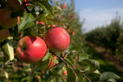 apple picking insurance