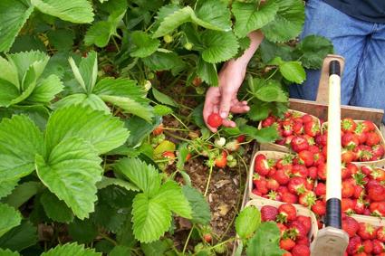 Strawberry Picking Insurance
